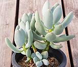三日月美人200(自然群生)_Pchyphytum oviferum mikadukibijin