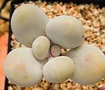 老庄星美人3_Pachyphytum oviferum