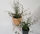 마오리코로키아,뉴질랜드野生화,인테리어식물_
