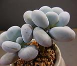 星美人2头720-545_Pachyphytum oviferum