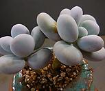 星美人2头720-1985_Pachyphytum oviferum