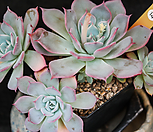 劳伦斯14自然群生一体(老庄)_Echeveria Laulensis