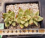 黄金玛丽亚自然群生50_Echeveria agavoides Maria