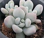 弗雷费尔紫心4124_Pachyphtum cv Frevel
