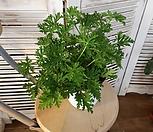 Pelargonium capitatum_Pelargonium capitatum