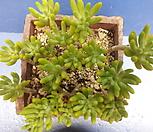 1270日本八千代合并_Sedum corynephyllum