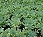 丸葉macdougallii自然群生_macdougallii