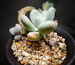 星美人木質化(自然)_Pachyphytum oviferum
