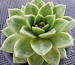 璀璨明珠(老庄)7-392_Echeveria 'Shining Pearl'