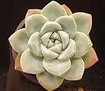 冰玉(중)30-_Echeveria 'Ice green'