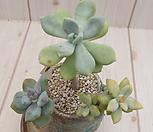 石蓮花錦(变异)(一体/식물만)760_Pachyveria Pachyphytodies
