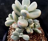 乒乓福娘锦(수박錦최상급)_Cotyledon orbiculata cv variegated