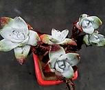 丸葉仙女杯法瑞诺莎5头群生-12_Dudleya farinosa Bluff Lettuce