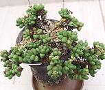老庄线虫桩(식물만)_Crassula elegans