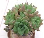 haworthia보초群生-124_haworthia