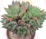 haworthia보초群生-53_haworthia