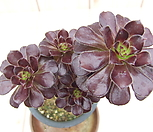 黑法师-132_Aeonium arboreum var. atropurpureum