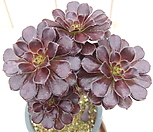黑法师-23_Aeonium arboreum var. atropurpureum