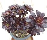 黑法师-312_Aeonium arboreum var. atropurpureum