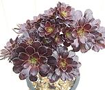 黑法师-0_Aeonium arboreum var. atropurpureum