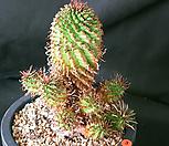 日本怪魔玉_Euphorbia hypogaea