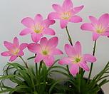 粉色색나도샤프란_