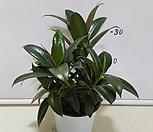 멜라닌Ficus elastica_Ficus elastica