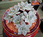 蓝光一体群生大品8-400_Echeveria Blue Light