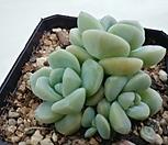 冰玉自然群生1_Echeveria 'Ice green'
