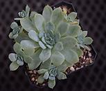 冰梅群生.21_Echeveria Rasberry Ice
