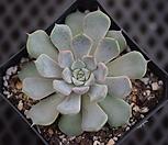 粉色原始绿爪.21_Echeveria mexensis 'Zaragosa'
