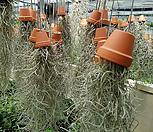 수염Tillandsia(공중식물)_Tillandsia