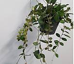 마니당(Hoya carnosa)빨간색꽃봉우里加맺었어요_Hoya carnosa