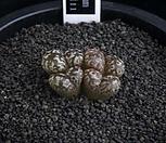 XP2050-C.pellucidumssp.pellucidumvar.neohallii네오할리4头_