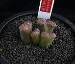 XP2057-C.pellucidumconcordia콘코르디아産4头_