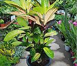 ice톤(Codiaeum Variegatum Blume Var Hookerianum )_Codiaeum Variegatum Blume Var Hookerianum