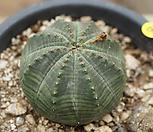 布纹球69_Baseball Plant (Euphorbia obesa)