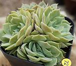 昂斯洛72_Echeveria cv  Onslow