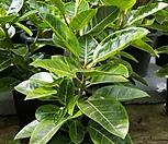 벵갈Ficus elastica(중)0828_Ficus elastica