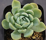 双贝瑞8069_Echeveria 'Twin Berry'