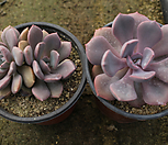 黛比[随机]m_Graptoveria Debbie
