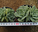 范女王[随机]m_Echeveria fun queen