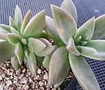 黄石莲缀化(紫心)9-140_Echeveria Citrina