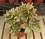 黄石莲群生(自然)3_Echeveria Citrina