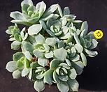 原始种它和月影系_Echeveria elegans