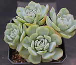 双贝瑞162516_Echeveria 'Twin Berry'
