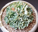 双贝瑞群生_Echeveria 'Twin Berry'