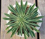 怪魔玉933_Euphorbia hypogaea