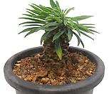 怪魔玉_Euphorbia hypogaea