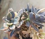石蓮花錦0921_Pachyveria Pachyphytodies